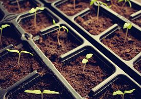 foto of food plant  - many tomatoe seedlings growing in black pot - JPG
