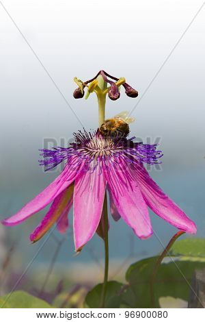 Purple Passiflora Bloom With Insect