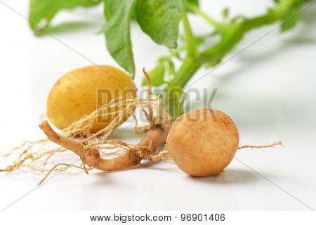 detail of freshly dug baby potatoes on white background