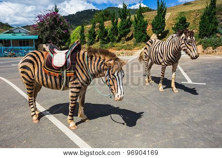 Horse Are Painted Like A Zebra In Vietnam.