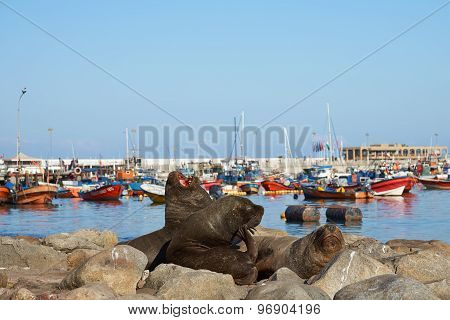 Sea Lions in Iquique Harbour