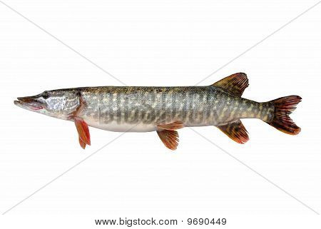 Pike  ( Esox lucius L. )