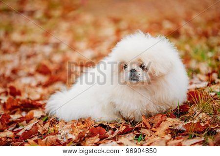 White Pekingese Pekinese Peke Whelp Puppy Dog