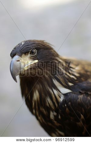 Beautiful Wild Eagle