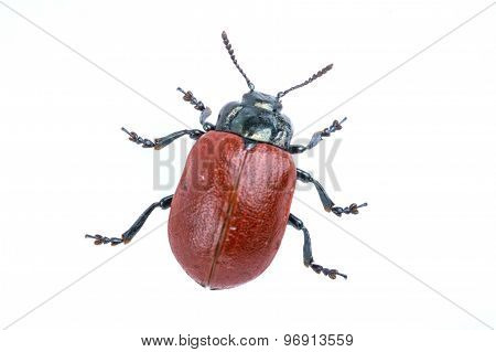 Red Beetle On White Background From Family Chrysomelidae