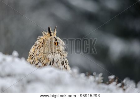 Eurasian Eagle Owl Sitting On The Ground With Snow In Winter Time