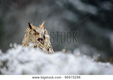 Eurasian Eagle Owl Sitting On The Ground With Snow And Shout