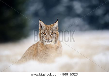 Eurasian Lynx Cub On Sitting Snowy Ground