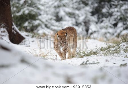 Eurasian Lynx Cub Walking In Winter Colorful Forest With Snow