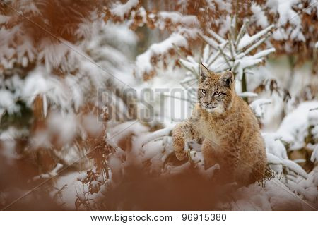 Eurasian Lynx Cub Shaking Down Snow From His Paw In Winter Forest