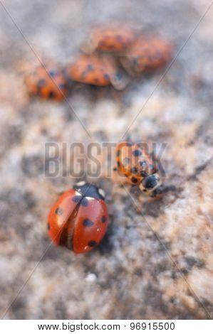 Family of ladybugs
