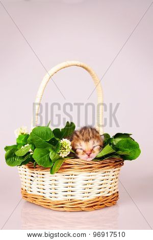tiny kitten in basket