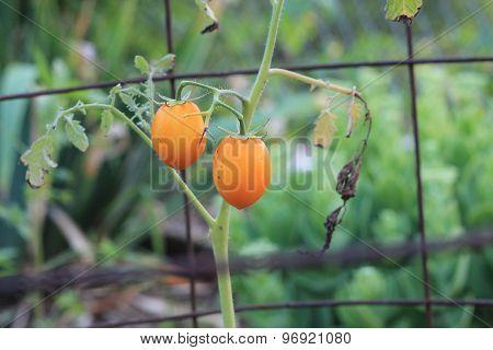 Orange Roma Tomatoes