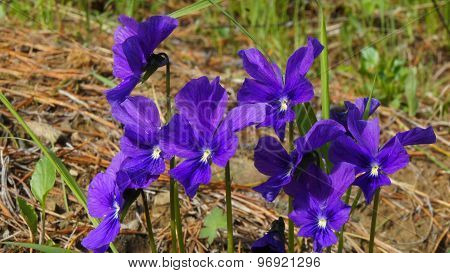 Beautiful forest flowers in the Siberian taiga. Siberia. Khakassia.