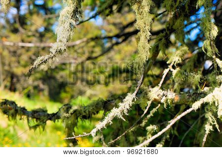 Beautiful moss on the forest trees in the Siberian taiga. Siberia. Khakassia.
