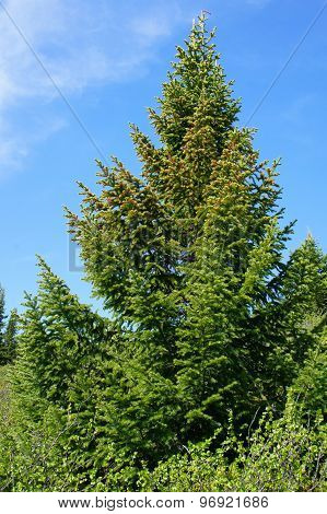 Beautiful slender spruce in the Siberian taiga. Siberia. Khakassia.