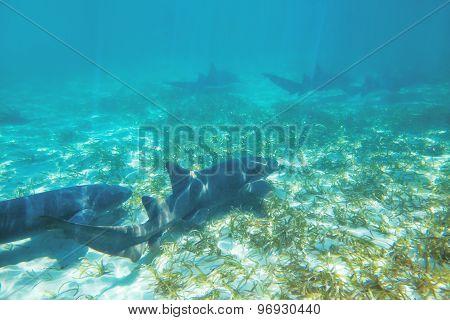 Caribbean Coral Sharks