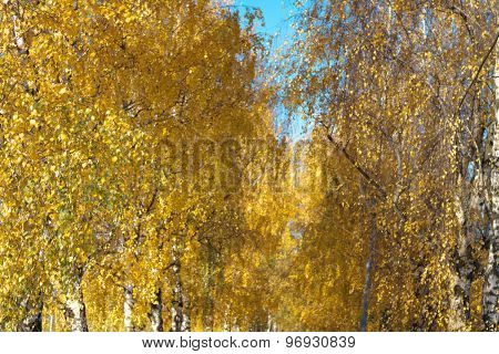 Birch Alley At Autumn