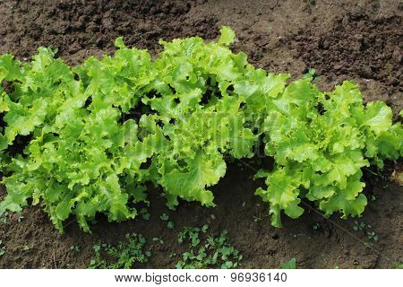 Fresh green salad on a bed
