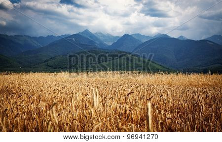 wheat field and Fagaras mountains in the background