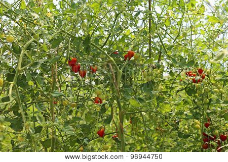 Red Tomatoes In A Greenhouse In Summer