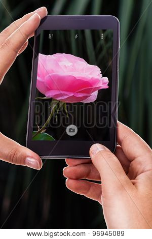 Photographing A Pink Rose