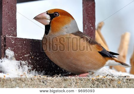 Hawfinch at feeder