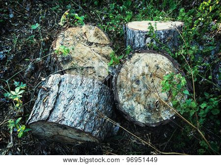 Chopped Wood In Forest