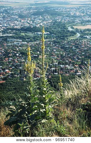 Great Yellow Gentian Grows On A Hill Zobor Above The Nitra City