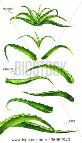 Set Of Watercolor Aloe Leaves.