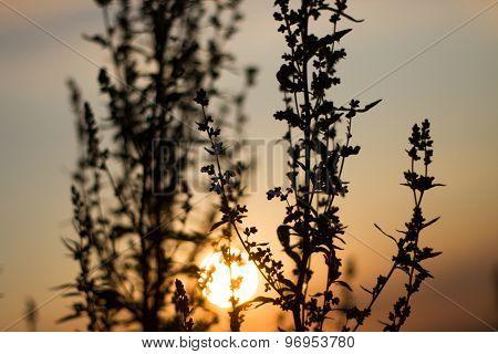 Sepia effect evening sun contours field plants