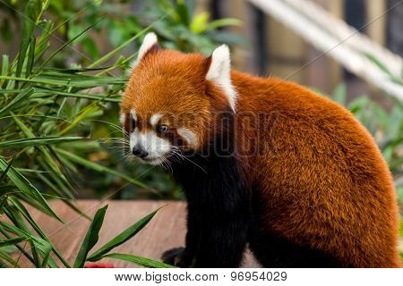 Red Panda look at the bamboo leave