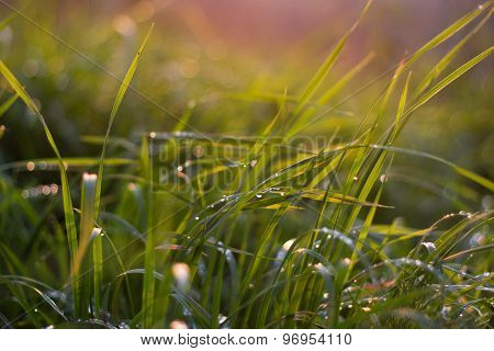 Sepia effect evening sun lights covered dew grass