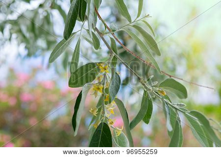 Flowering Branch Of An Olive Tree