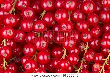 Red Currant Berry Background