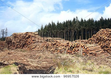 Felled pine tree log trunks