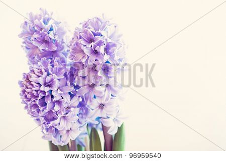 hyacinth growing in a pot on a white background