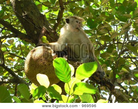 A Monkey With A Jack Fruit