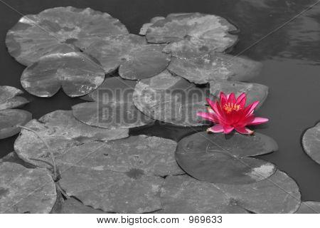 Pondflowerbw