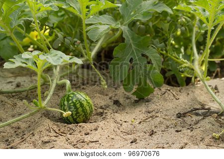 young small watermelon in the garden in fine clear weather closeup