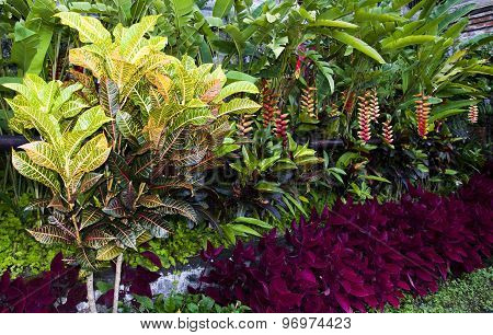 Croton plants with colorful leaves in tropical garden
