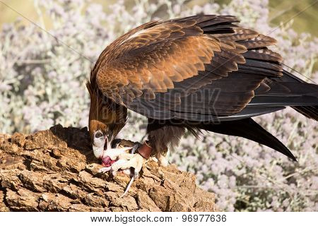 Wedge-Tailed Eagle Eating