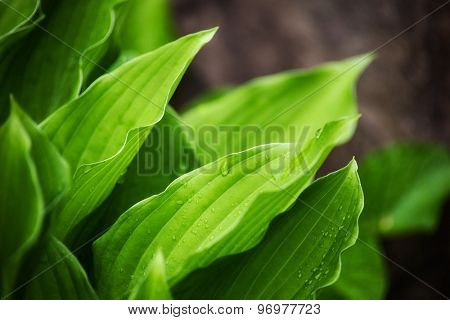 leaves of beautiful plant hosts with drops of rain. background outdoors