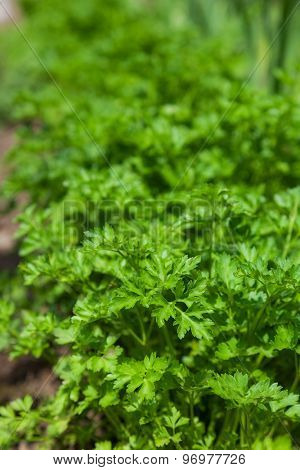 many beautiful green parsley in the garden. background