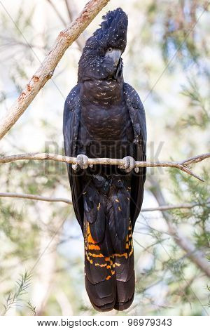 Australian Red-Tailed Black Cockatoo