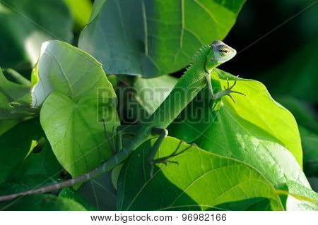 Chameleon At Tree Branch