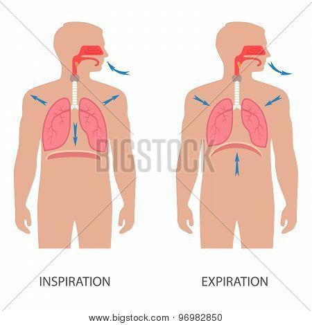respiratory system anatomy,