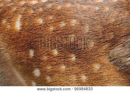 Texture Deer Fur