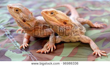 Bearded Dragon / Pogona