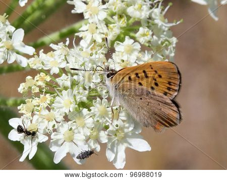 Purplish Copper Butterfly - Lycaena helloides